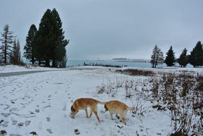 羊の国のラブラドール絵日記シニア!!「行きはよいよい、帰りは・・・?」写真日記2