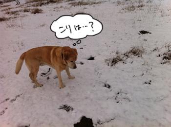 羊の国のラブラドール絵日記シニア!!「大雪警報発令中」写真3