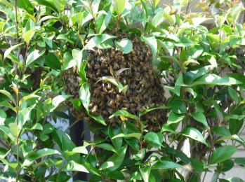 ハチ駆除1