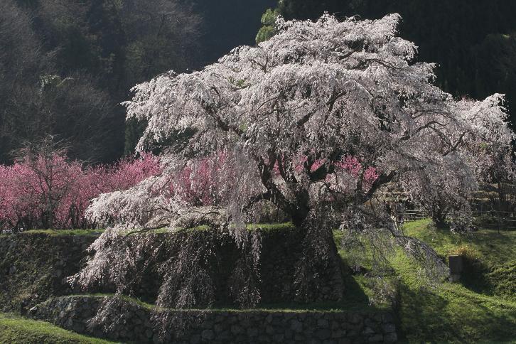 2011.04.14・『 又兵衛桜・本郷の瀧桜 』 奈良県 07