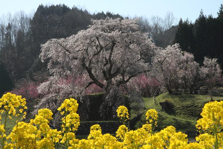 2011.04.14・『 又兵衛桜・本郷の瀧桜 』 奈良県 08