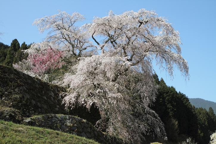 2011.04.14・『 又兵衛桜・本郷の瀧桜 』 奈良県 04