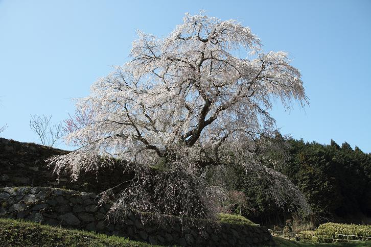 2011.04.14・『 又兵衛桜・本郷の瀧桜 』 奈良県 03