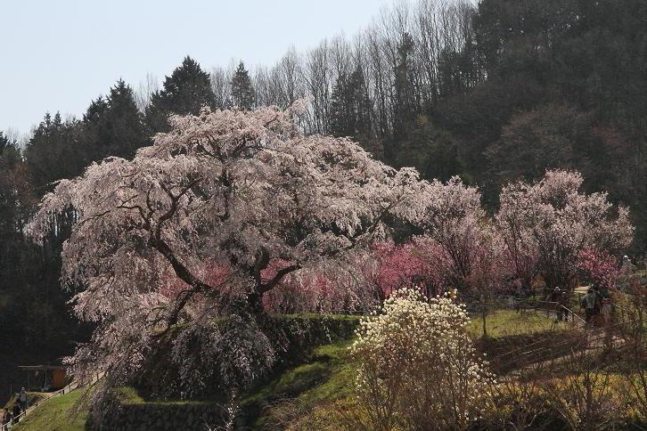 2011.04.14・『 又兵衛桜・本郷の瀧桜 』 奈良県 02