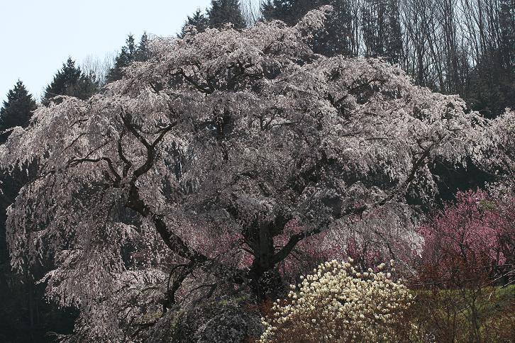 2011.04.14・『 又兵衛桜・本郷の瀧桜 』 奈良県 05