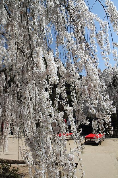 2011.04.14・『 しだれ桜・大野寺 』 奈良県 13