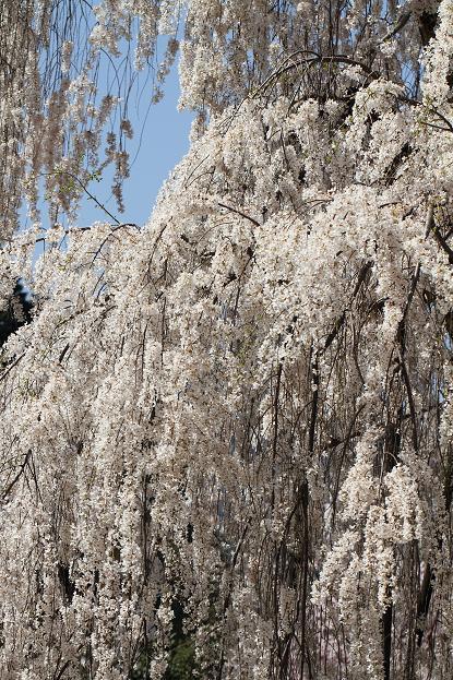 2011.04.14・『 しだれ桜・大野寺 』 奈良県 10