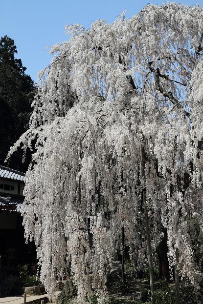 2011.04.14・『 しだれ桜・大野寺 』 奈良県 07