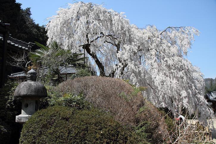 2011.04.14・『 しだれ桜・大野寺 』 奈良県 03