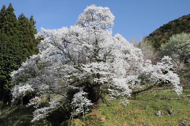 2011.04.21・『 千年桜・仏隆寺 』 奈良県 11