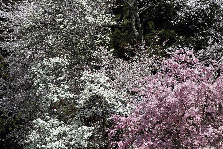 2011.04.21・『 千年桜・仏隆寺 』 奈良県 10