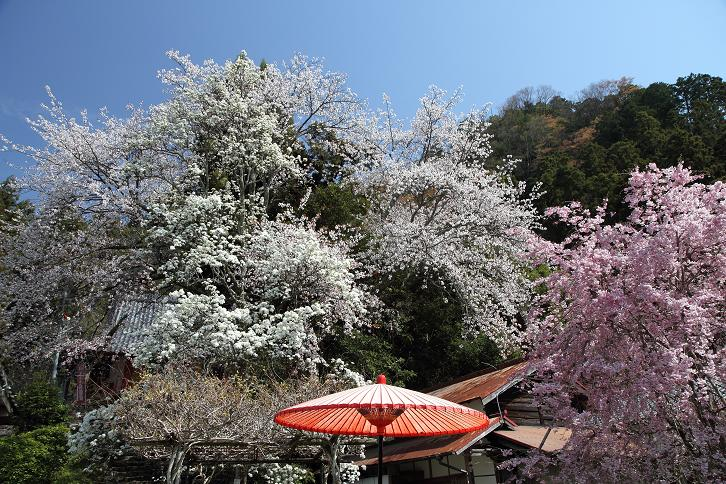 2011.04.21・『 千年桜・仏隆寺 』 奈良県 09