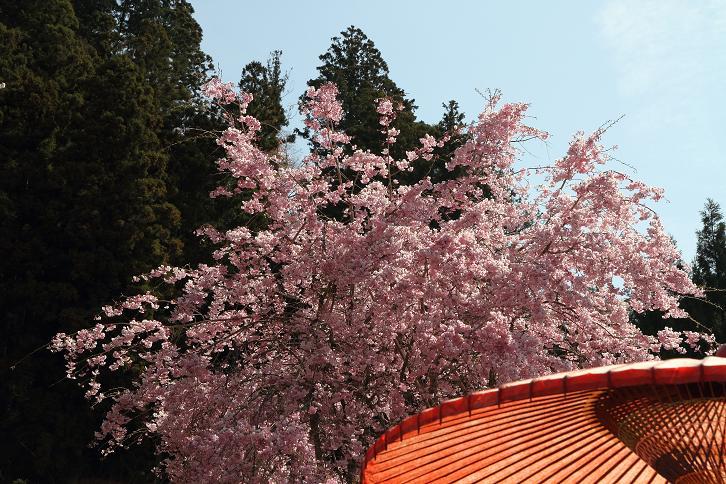 2011.04.21・『 千年桜・仏隆寺 』 奈良県 08