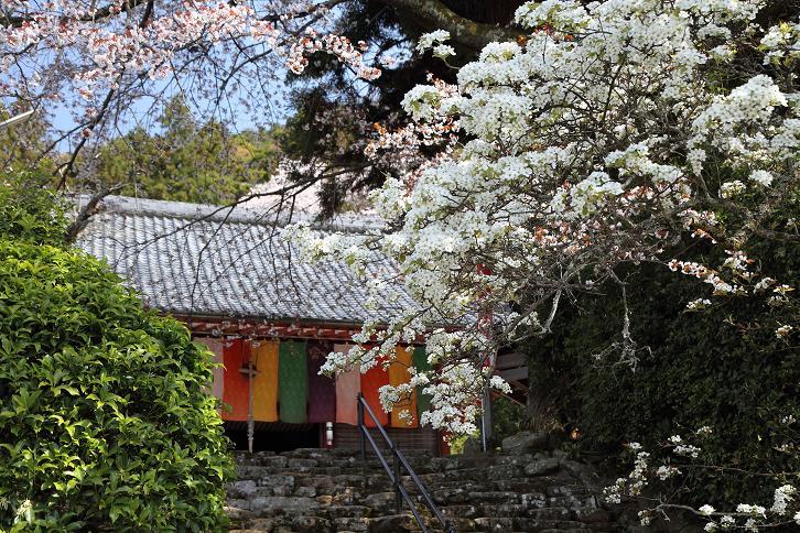 2011.04.21・『 千年桜・仏隆寺 』 奈良県 07