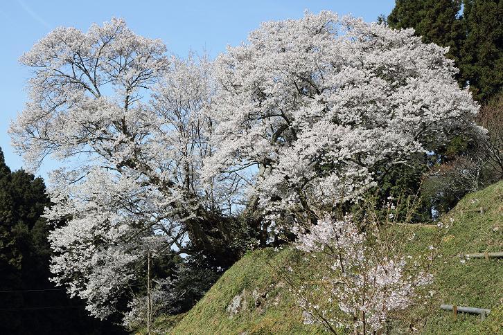 2011.04.21・『 千年桜・仏隆寺 』 奈良県 06