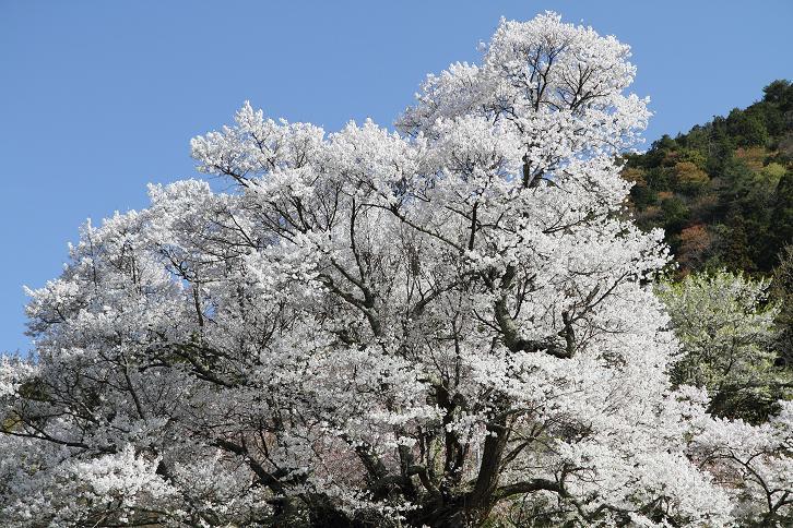 2011.04.21・『 千年桜・仏隆寺 』 奈良県 03