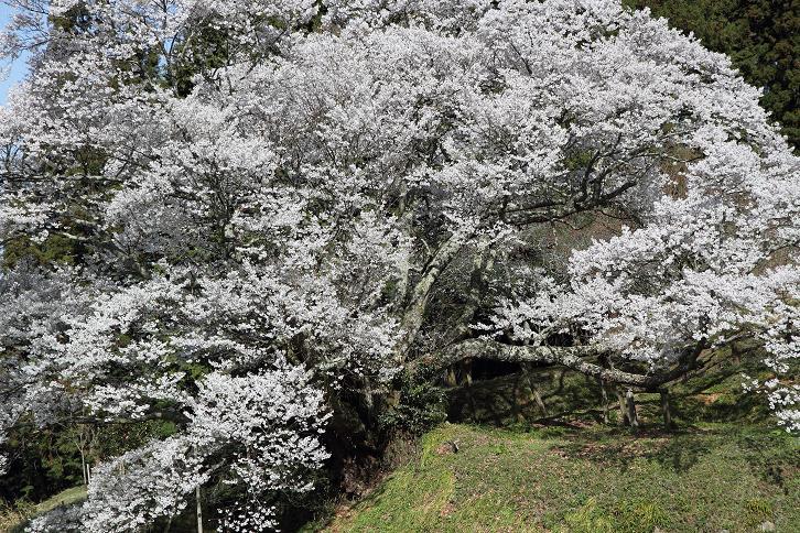 2011.04.21・『 千年桜・仏隆寺 』 奈良県 04