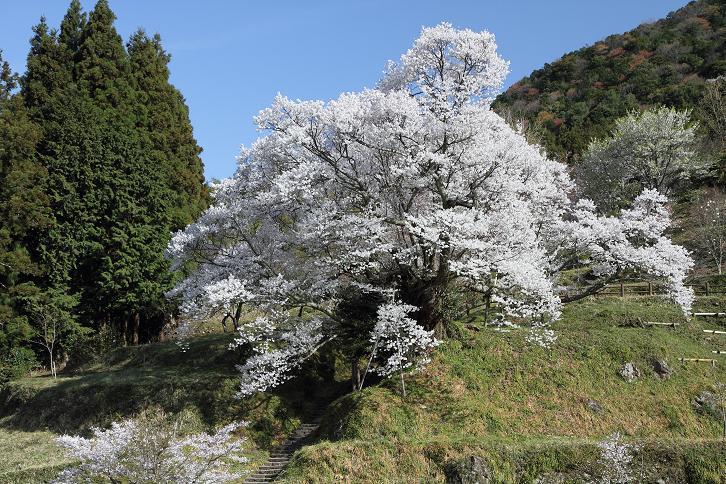2011.04.21・『 千年桜・仏隆寺 』 奈良県 02