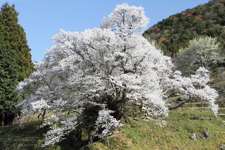 2011.04.21・『 千年桜・仏隆寺 』 奈良県 01