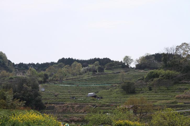 2011.04.26・『 稲渕 』 奈良県 明日香村 03