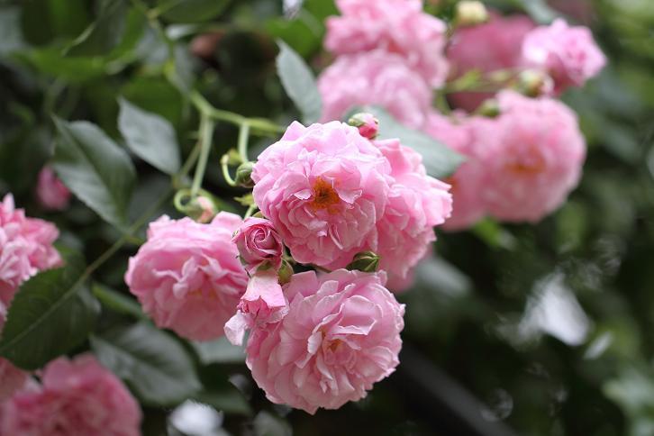 2011.05.31・『 花の文化園・薔薇 』 大阪府 河内長野市 12