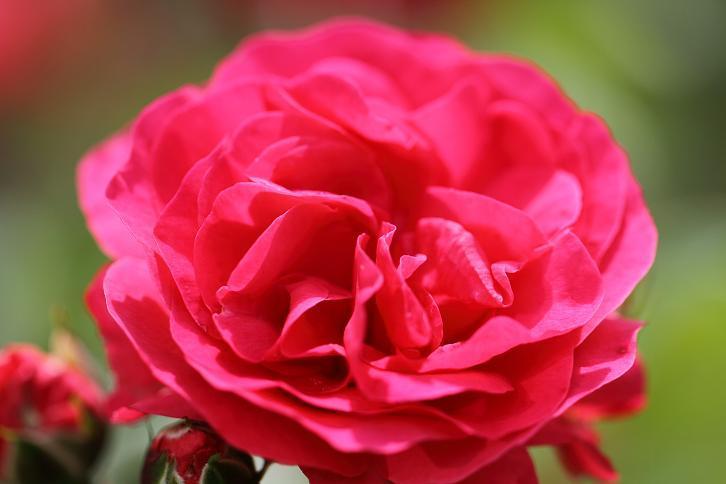 2011.05.31・『 花の文化園・薔薇 』 大阪府 河内長野市 10