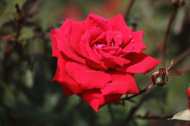 2011.05.31・『 花の文化園・薔薇 』 大阪府 河内長野市 03