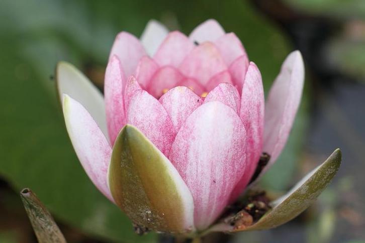 2011.05.31・『 花の文化園・睡蓮 』 大阪府 河内長野市 03