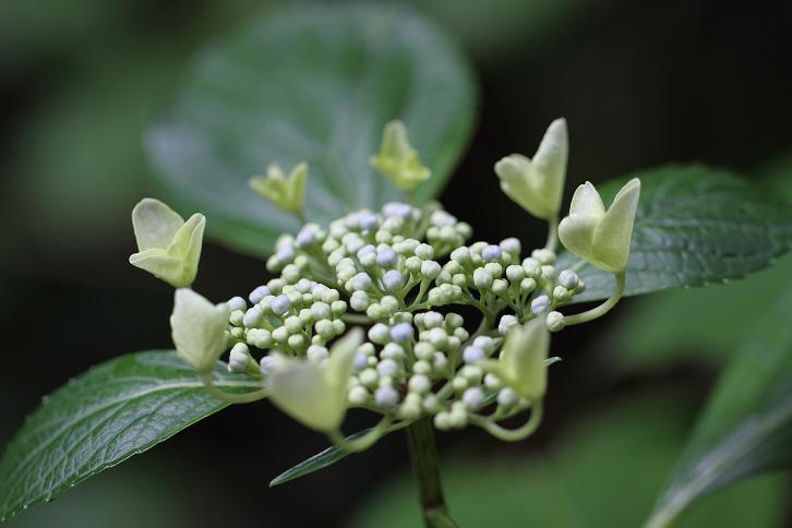 2011.06.15・『 わんぱく公園・紫陽花 』 和歌山県 海南市 05