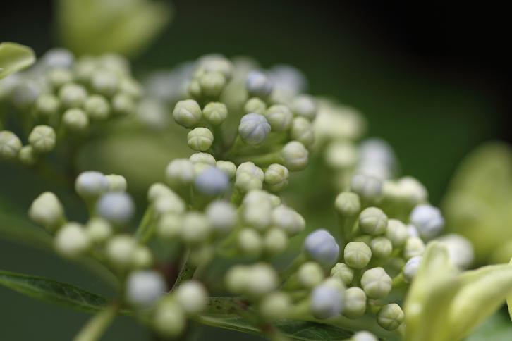 2011.06.15・『 わんぱく公園・紫陽花 』 和歌山県 海南市 06