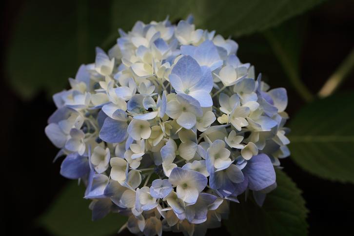 2011.06.15・『 わんぱく公園・紫陽花 』 和歌山県 海南市 01