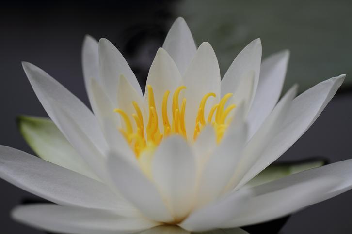 2011.06.15・『 わんぱく公園・睡蓮 』 和歌山県 海南市 09