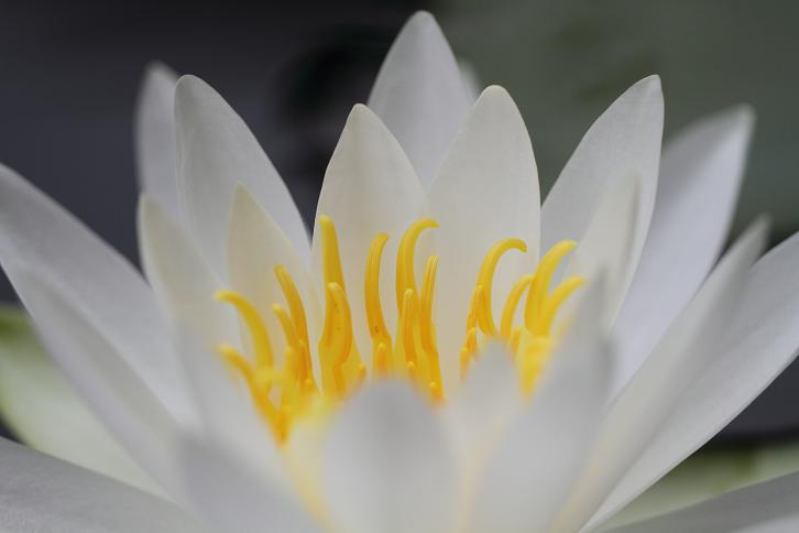 2011.06.15・『 わんぱく公園・睡蓮 』 和歌山県 海南市 10