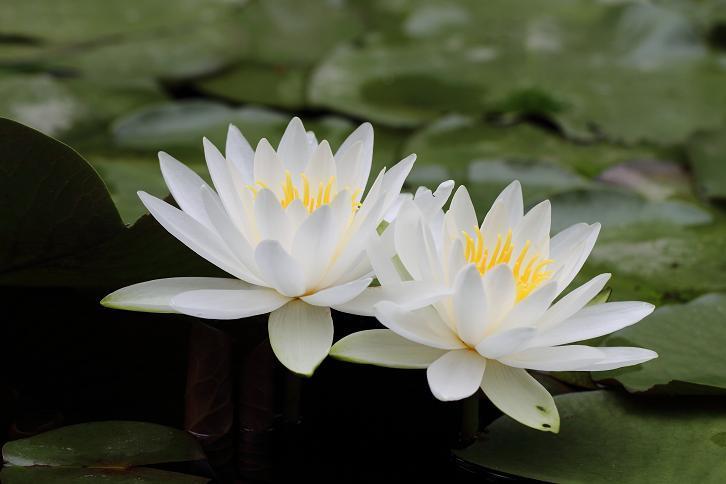 2011.06.15・『 わんぱく公園・睡蓮 』 和歌山県 海南市 05