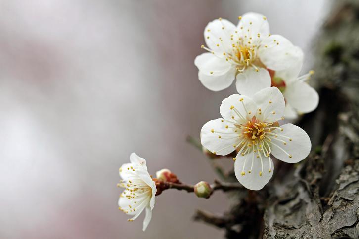 2012.03.07・『 花の文化園・梅花 』 大阪府 河内長野市 11