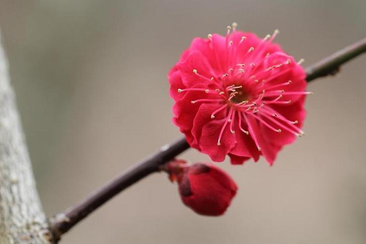 2012.03.07・『 花の文化園・梅花 』 大阪府 河内長野市 07