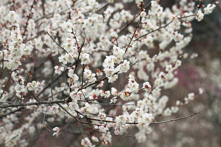 2012.03.07・『 花の文化園・梅花 』 大阪府 河内長野市 02