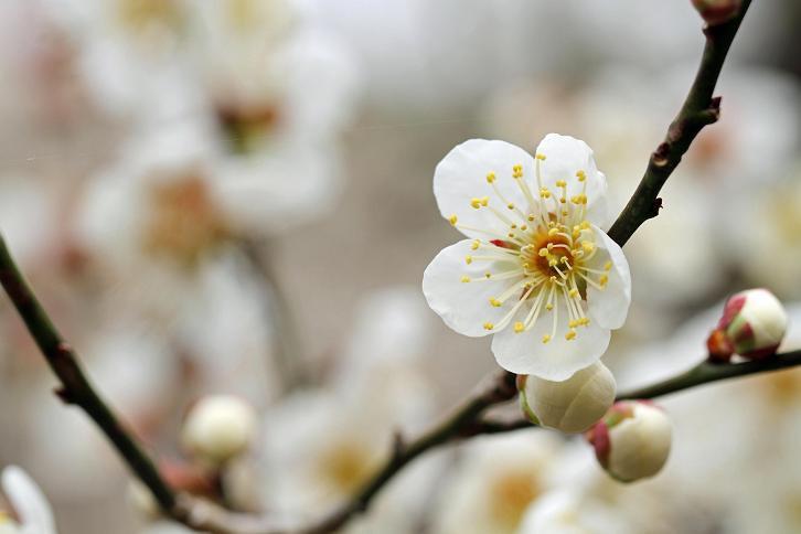 2012.03.07・『 花の文化園・梅花 』 大阪府 河内長野市 03