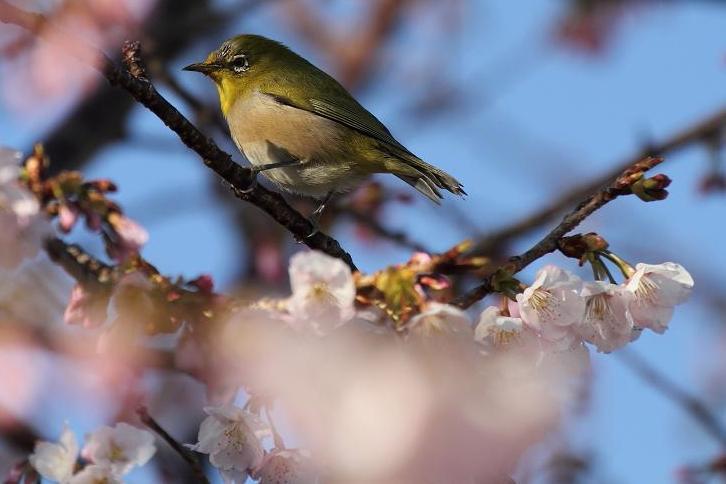 2012.03.13・『 桜 』 和歌山県 日高郡 みなべ町 06