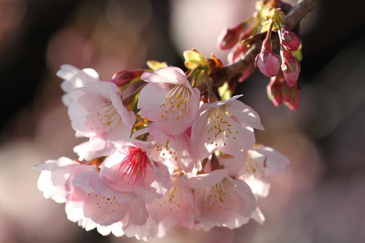 2012.03.13・『 桜 』 和歌山県 日高郡 みなべ町 04