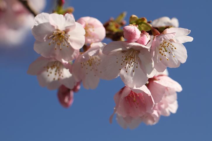 2012.03.13・『 桜 』 和歌山県 日高郡 みなべ町 03