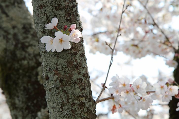 2012.04.09・『 平等院 』 京都府 宇治市 05