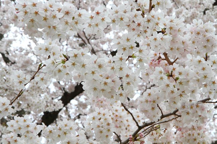 2012.04.09・『 醍醐寺 』 京都府 京都市 伏見区 06