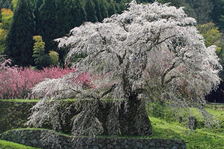 2012.04.17・『 又兵衛桜・本郷の瀧桜 』 奈良県 04