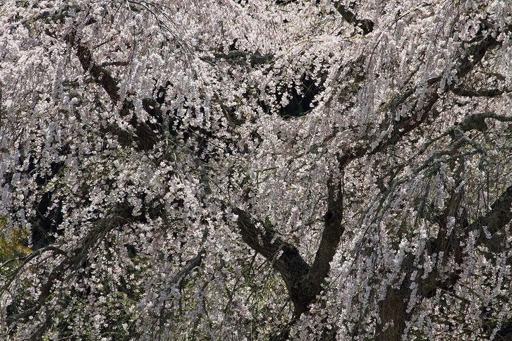 2012.04.17・『 又兵衛桜・本郷の瀧桜 』 奈良県 03