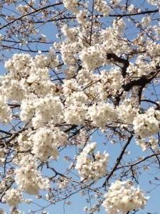 桜改130322