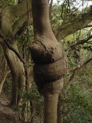 う○この木