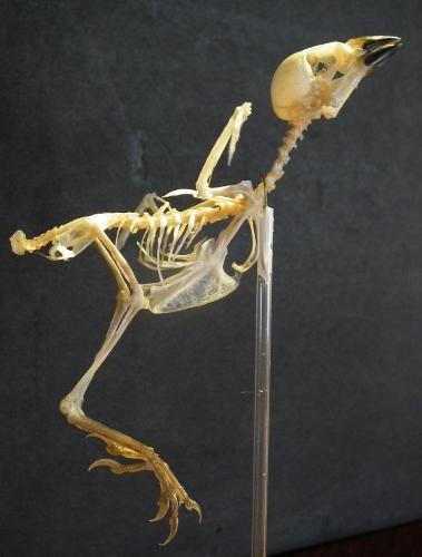 スズメの骨格