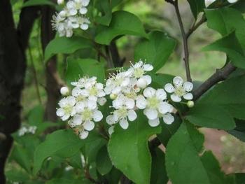 カマツカ花