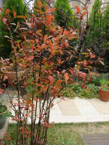 カマツカ 紅葉